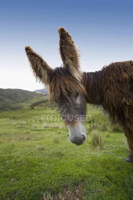 Burro com orelhas grandes — Fotografia de Stock