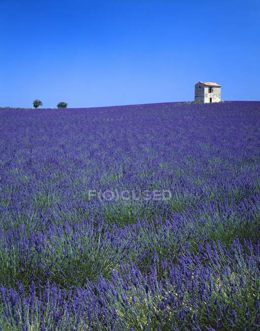 Лавандовое поле на юге Франции — стоковое фото
