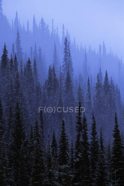 Pine Forest In Fog — Stock Photo