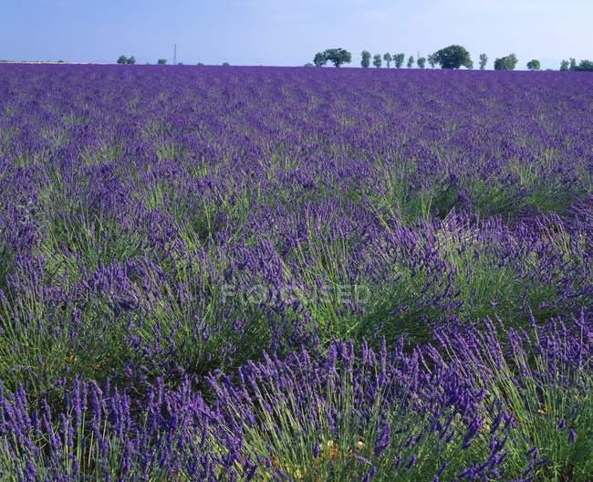 Lavendelpflanzen in Südfrankreich — Stockfoto