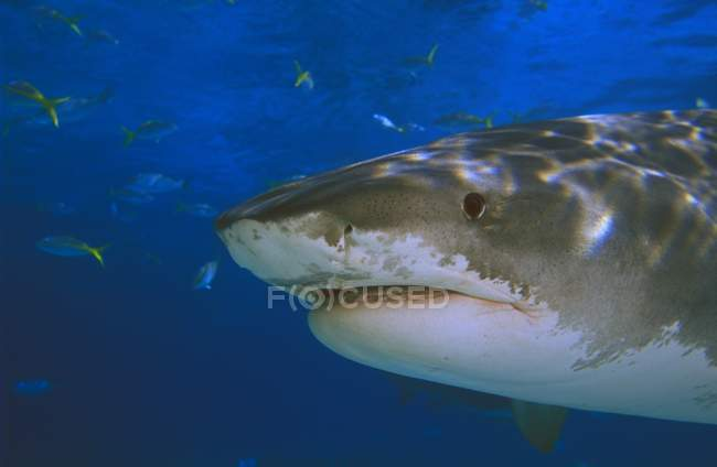 Tiger Shark In Water — Stock Photo