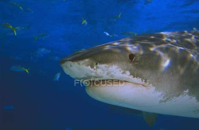 Тигровая акула в воде — стоковое фото