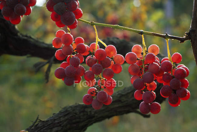 Grapes Ripening On Vine — Stock Photo