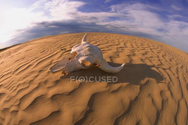 Teschio di bufalo sulla sabbia — Foto stock