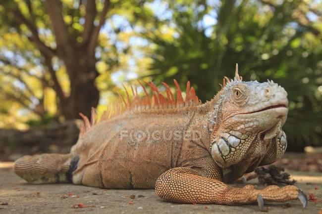 Large Iguana laying on ground — Stock Photo
