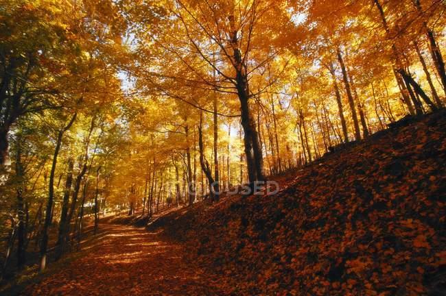 Лес осенью с деревьями — стоковое фото