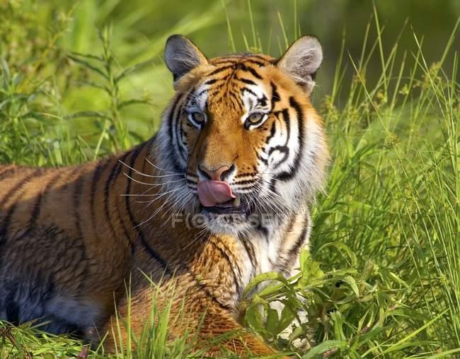 Bengal Tiger laying — Stock Photo