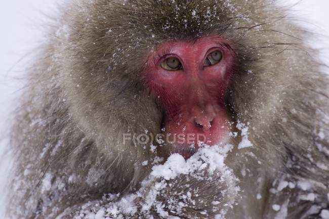 Snow Monkey Eating Snow — Stock Photo