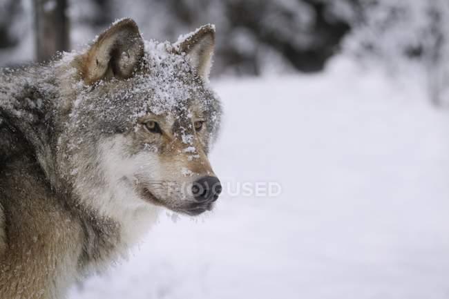 Волк, глядя в снегу — стоковое фото