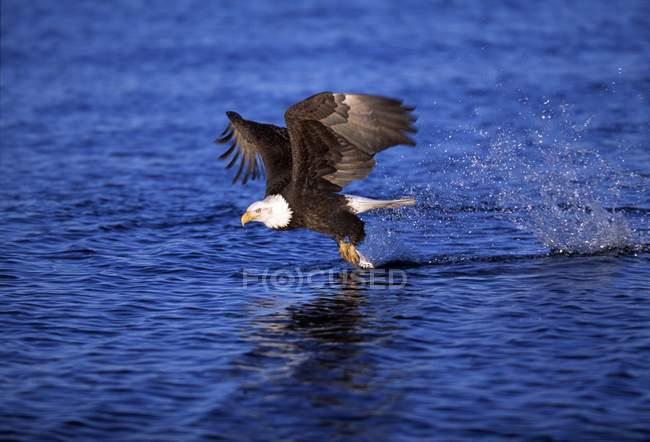 Águila calva captura un pez - foto de stock