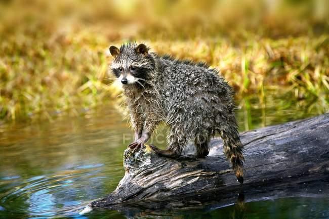 Raton laveur après avoir nagé debout sur le rondin — Photo de stock