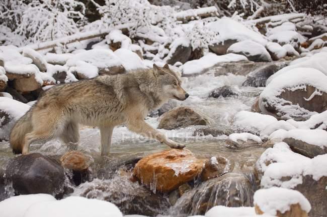 Волк пересечения реки — стоковое фото