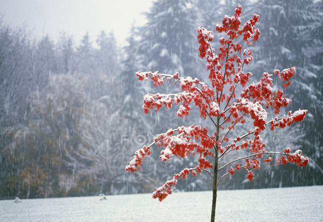 Tree In Winter with snow — Stock Photo