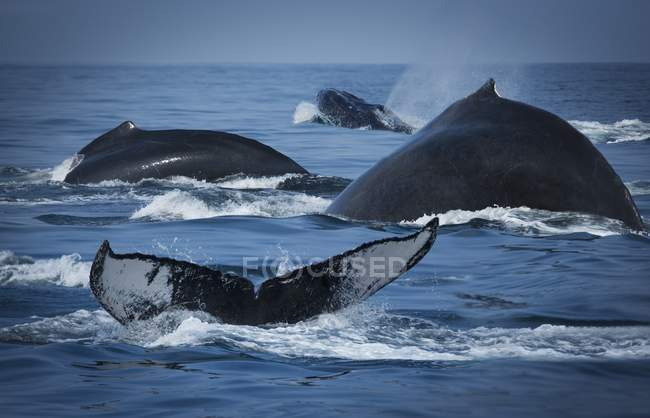 School Of Humpback Whales — Stock Photo