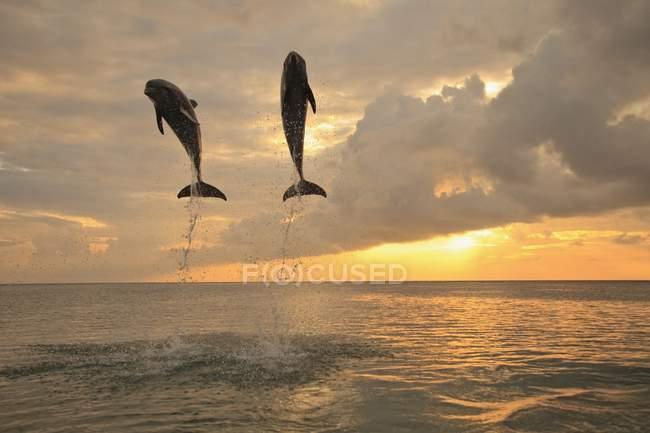 Delfines mulares saltando - foto de stock