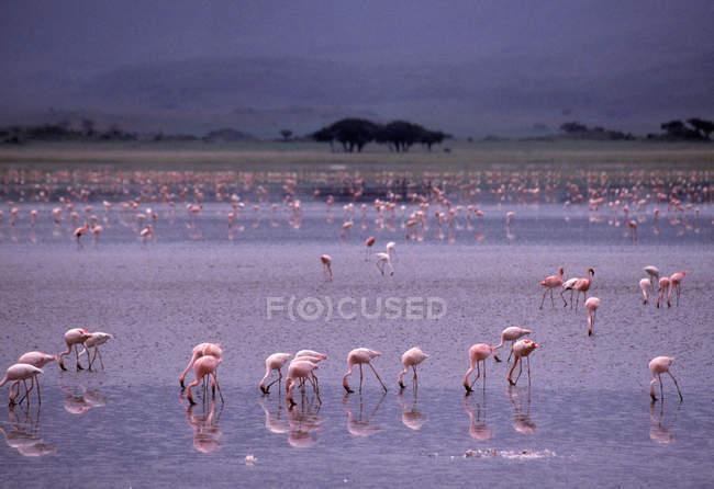 Rosafarbene Flamingos trinken Wasser — Stockfoto