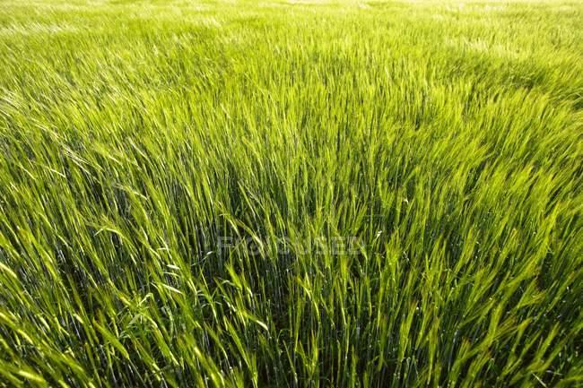 Травой поле на открытом воздухе — стоковое фото
