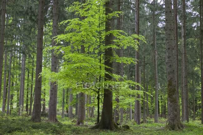 Foresta bavarese, Baviera, Germania — Foto stock