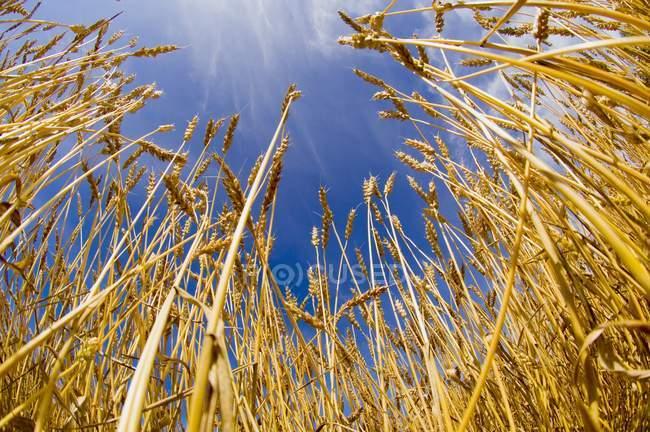 Die Stiele der wachsenden Weizen — Stockfoto