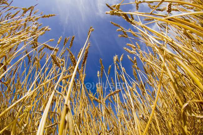 Stalks Of growing Wheat — Stock Photo