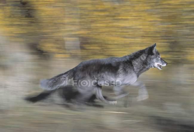 Черный волк бега — стоковое фото