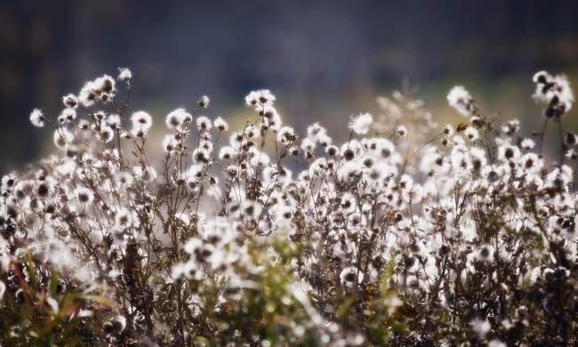 Las malas hierbas en flor al aire libre - foto de stock