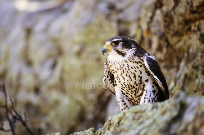 Prairie Falcon auf Felsvorsprung — Stockfoto