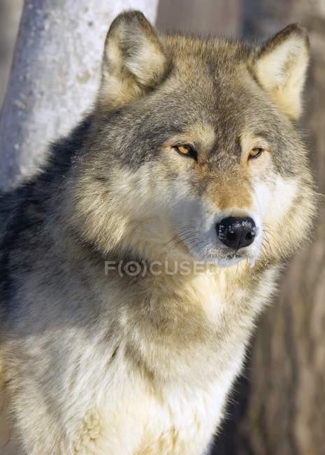 Волк восстали против деревья — стоковое фото
