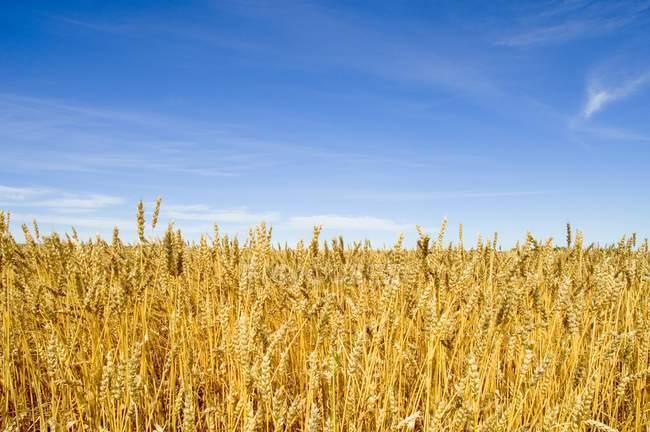 Feld der Weizen gegen Himmel — Stockfoto