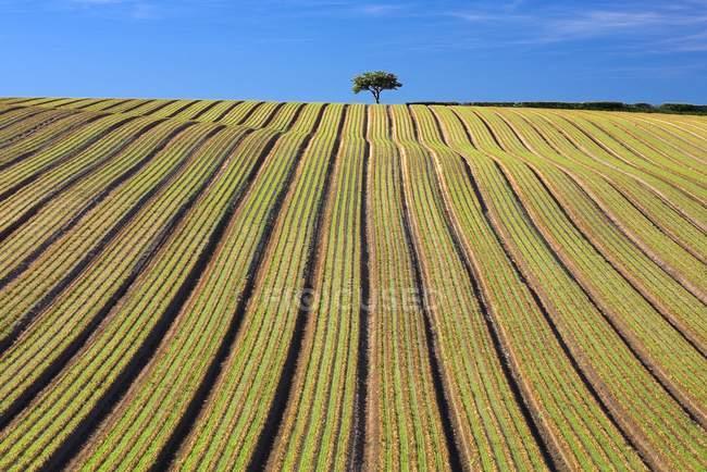 Árbol en campo arado - foto de stock