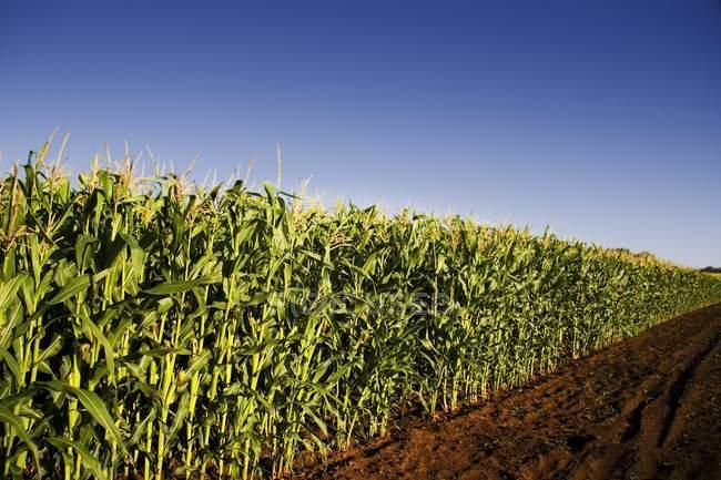 Campo de maíz con carretera - foto de stock