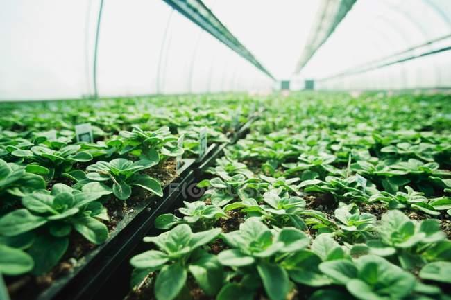 Piante che crescono in vivaio vegetale — Foto stock
