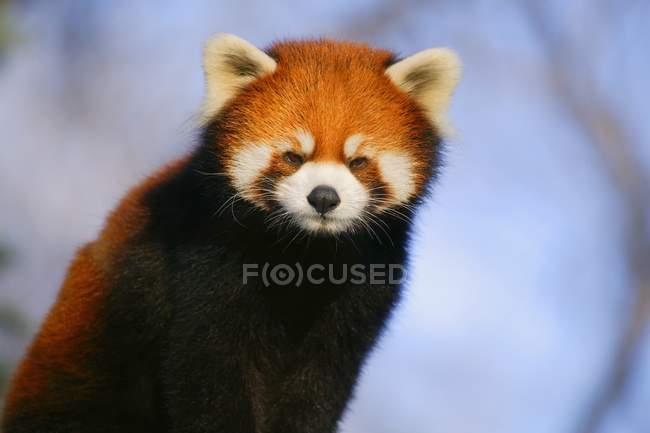 Panda rouge à l'extérieur — Photo de stock