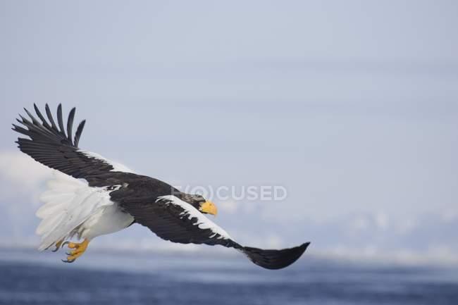 Steller Sea Eagle — Stock Photo