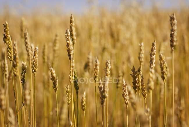 Weizen wächst auf Feld — Stockfoto