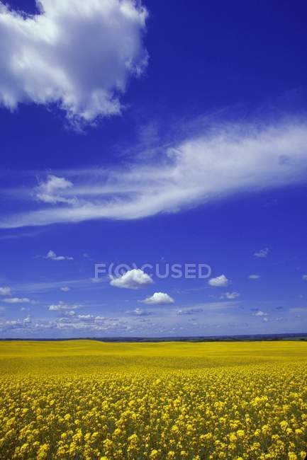 Field Of Canola against sky — Stock Photo