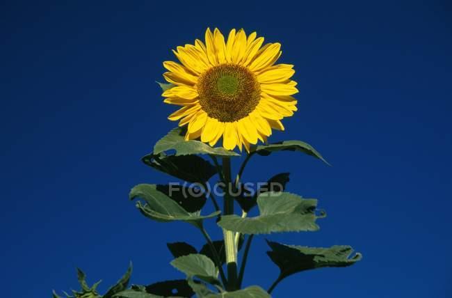 Tournesol solitaire contre ciel bleu — Photo de stock