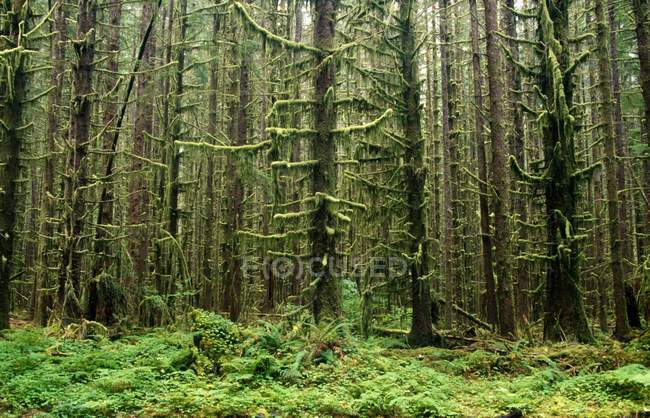 Old Growth Forest In Hoh Rain Forest — Stock Photo