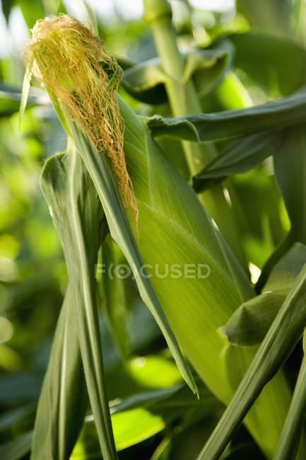 Mais wächst in einem Feld — Stockfoto