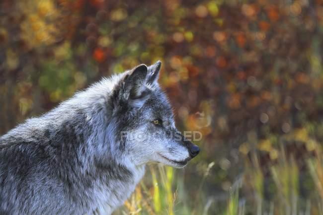Стоя в лесу волка — стоковое фото
