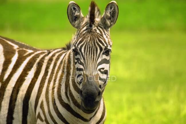 Зебра, глядя на камеру — стоковое фото
