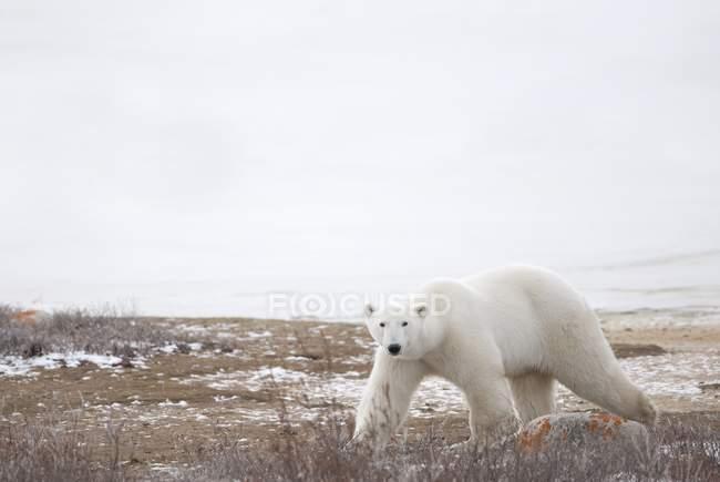 Полярний ведмідь йде через — стокове фото