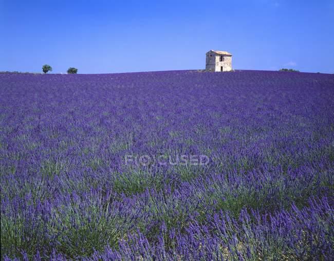 Lavendelfeld in Südfrankreich — Stockfoto