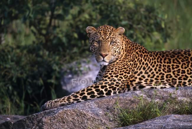 Leopard покладення камінь — стокове фото