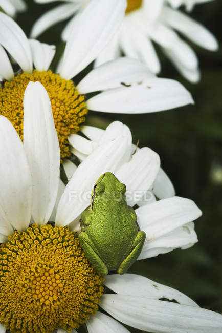 Tree frog rests on a daisy — Stock Photo