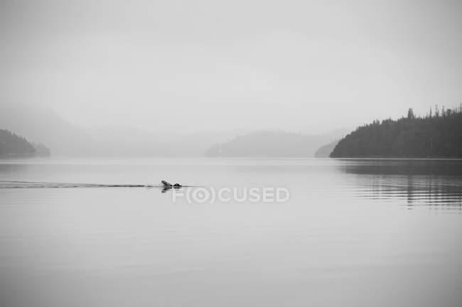 Nageur nage à travers le lac calme brumeux — Photo de stock