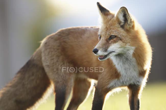 Лисиця з хутра підсвічуванням сонячним світлом — стокове фото