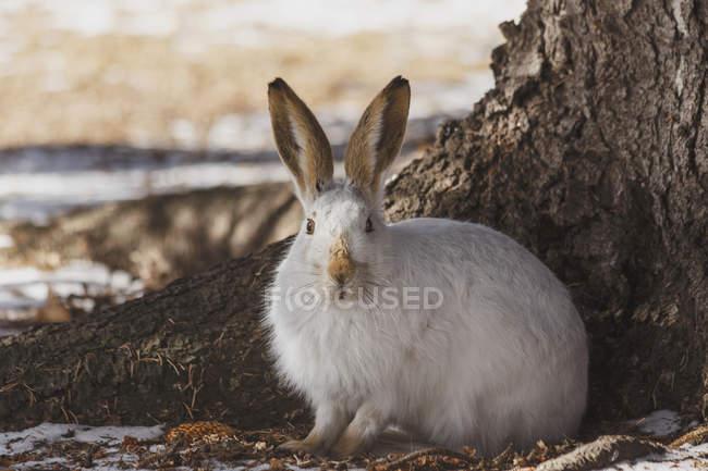 Coniglio del jack dalla coda bianca — Foto stock