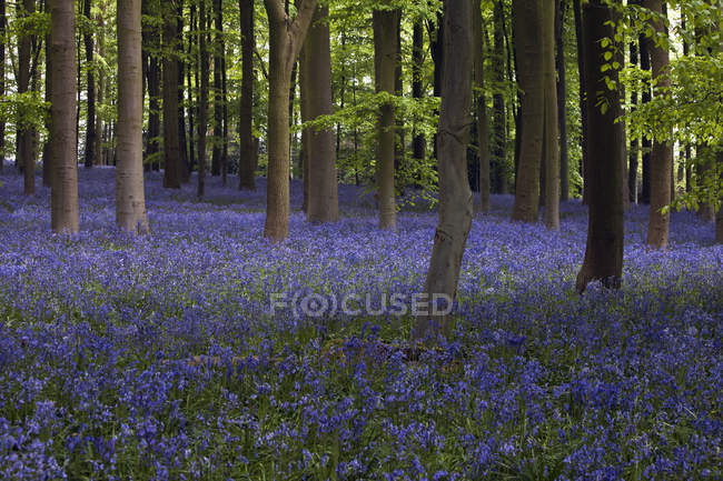 Shaft of sunlight in the bluebell woods — Stock Photo