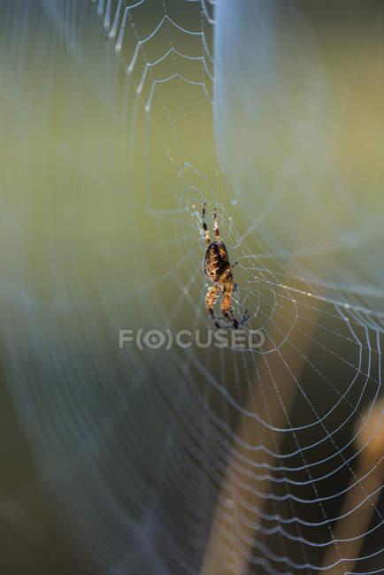 Gros plan d'araignée de tisserand orb tendance web — Photo de stock